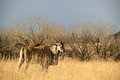 Eland standing in dry winter veld. Royalty Free Stock Photo