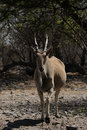 Eland (Taurotragus oryx) Stock Photo