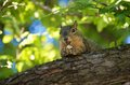 Elated Squirrel with Bread Royalty Free Stock Image