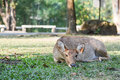 Eld's deer (Cervus eldi thamin) crouches on the lawn Stock Photo