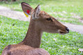 Eld s deer in thailand close up Stock Image