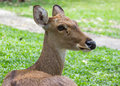 Eld s deer in thailand close up Royalty Free Stock Photography