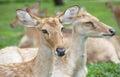 Eld S Deer In Wild Nature