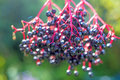 Elder berries close up of with highlights Royalty Free Stock Photos