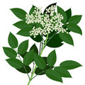 Elder flower elderflower branch with leaves isolated on white background Royalty Free Stock Images