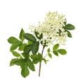 Elder flower Royalty Free Stock Photo