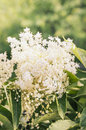 Elder flower with leafs toned in garden Royalty Free Stock Image
