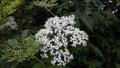 Elder flowers Royalty Free Stock Photo