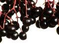 Elderberry Stock Photography