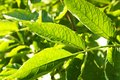 Elderberry leaves backlit by the sun Royalty Free Stock Photography