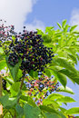 Elderberry shrub Royalty Free Stock Image