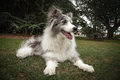 Elderly Blue Merle Border Collie Lying Down in a Park Royalty Free Stock Images
