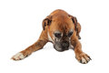 Elderly boxer dog looking down an laying and where a pet product can be placed Stock Images
