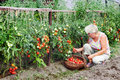 Elderly mistress kitchen garden received harvest tomatoes Royalty Free Stock Photography