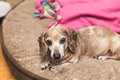 Elderly Wieiner Dog Royalty Free Stock Photo
