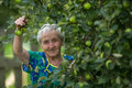 An elderly woman near Apple tree Royalty Free Stock Photo