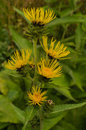 Elecampane five flowers of blooming medicinal herb inula helenium Stock Images