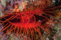 Electric clam an or disco lives in a reef crevice in the tropical western pacific this species gets its name from reflected Stock Images