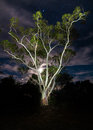 Electric gum tree this large eucalypt is intensely illuminated with a strong led light over seconds and is framed in front of an Royalty Free Stock Images