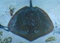 Electric Stingray Royalty Free Stock Photo