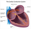 Electrical pathways of the heart Stock Photos