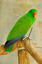 Electus parrot the eclectus is a native to the solomon islands sumba new guinea and nearby islands northeastern australia and the Stock Image