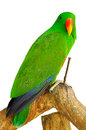 Electus parrot the eclectus is a native to the solomon islands sumba new guinea and nearby islands northeastern australia and the Stock Photo