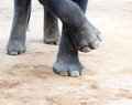 Elefant legs Royalty Free Stock Photo