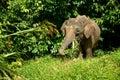 Elefante enano Foto de archivo
