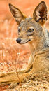 The elegance of the Black-backed jackal Royalty Free Stock Photo