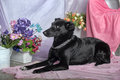 Elegant black dog on a background of flowers Stock Image