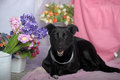 Elegant black dog on a background of flowers Stock Photo