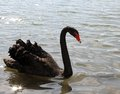 Elegant black swan with the long neck in the pond Royalty Free Stock Photo