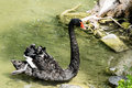 Elegant black swan in a pond Royalty Free Stock Photo