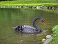 Elegant black swan in the water Royalty Free Stock Photo