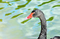 Elegant Black Swan on the water Royalty Free Stock Photo