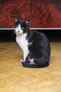 An Elegant Black and White Cat Posing Royalty Free Stock Photo