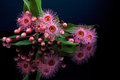 Elegant bouquet of pink Eucalyptus flowers and buds with reflect Royalty Free Stock Photo