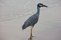 Elegant heron on the beach herons are medium to large sized birds with long legs and necks Royalty Free Stock Images