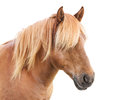 Elegant horse portrait of beautiful with golden mane Stock Image