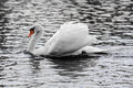 Elegant mute swan swims in the water of a sea this photo has reduced colors for a black white look Stock Photo