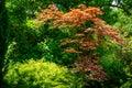 Elegant red Japanese Maple, Acer palmatum Atropurpureum tree with purple leaves in beautiful spring Royalty Free Stock Photo