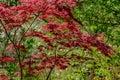 Elegant red Japanese Maple, Acer palmatum Atropurpureum tree with purple leaves in spring garden Royalty Free Stock Photo