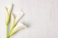Elegant spring flower, calla lily Royalty Free Stock Photo