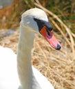 Elegant swan female with very long necks and beaks white flamboyant Royalty Free Stock Photos