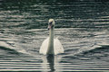 Elegant swan on the lake Royalty Free Stock Photo