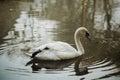 Elegant swan swimming in a forest lake, wildlife scene - white s Royalty Free Stock Photo