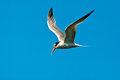 Elegant Tern Royalty Free Stock Images