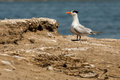 Elegant tern single adult standing erect near roosting area Stock Photos