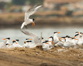 Elegant terns small group of breeding around nests with eggs Stock Photography